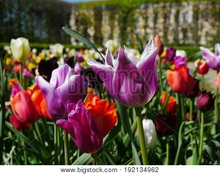 Beutiful bright violet and red flowers in the garden