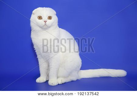 Beautiful white Scottish cat in studio blue background