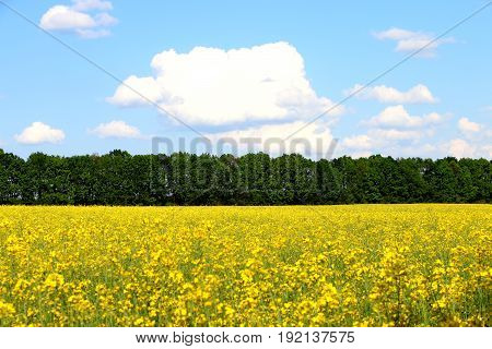 field of yellow flowers on a cloudy day outdoors