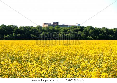 field of yellow flowers on a cloudy day in the future eco fuel