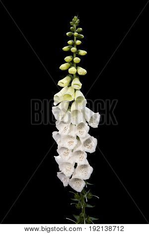 A common foxglove flower in full bloom