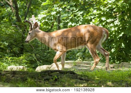 A White-tailed deer walks through the forest