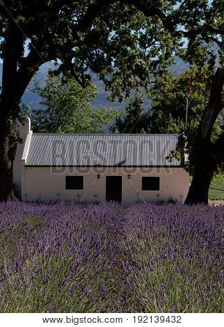 White Stucco house with metal roof set back in a field of lavender and framed by mature trees