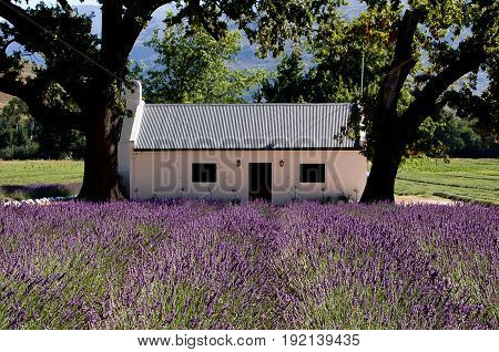 Field of blooming lavender with White Stucco house set in the near distance