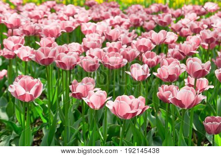 Vivid Meadow Tulips Everywhere