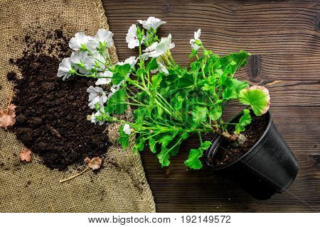 Planting flowers in garden with green instruments and plant on wooden desk background top view
