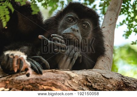 Mantled howler (Alouatta palliata). Golden mantled howling monkey on the tree.