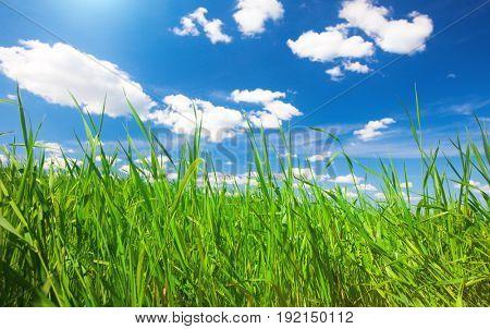 green summer grass and sky