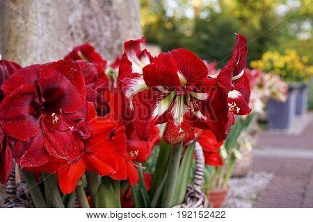 Beautiful blooming Amaryllis flower on blurred background