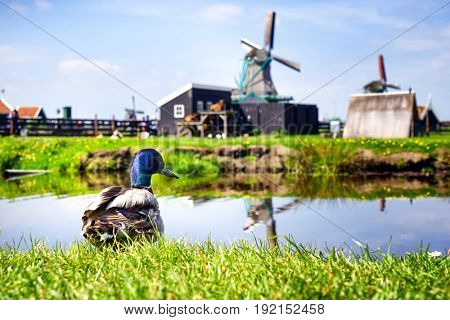 Beautiful duck on blurred rural background