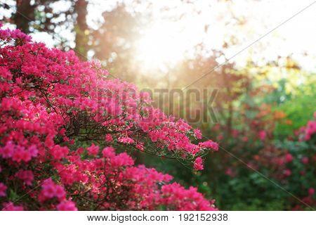 Beautiful blooming Azalea bush in park