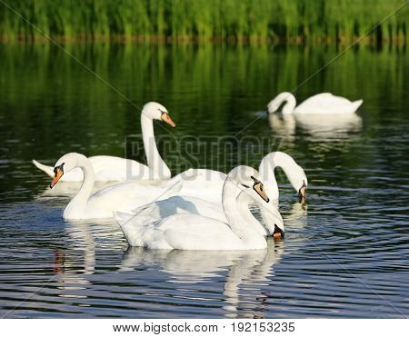 Beautiful white swans swimming in countryside river