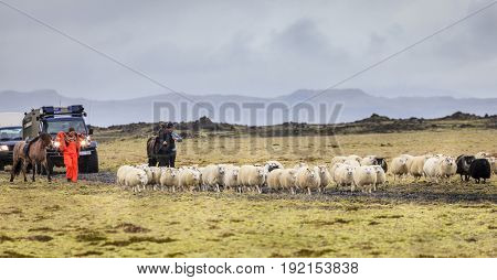 Southern Iceland, September 14, 2013: local farmers are herding sheep at the end of summer in Southern Iceland