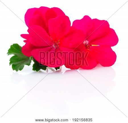 Two beautiful red flowers isolated on white.