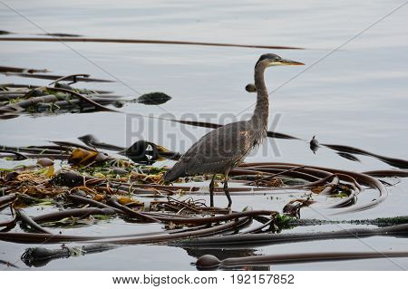 A great blue heron sitting on a kelp bed looking for lunch.