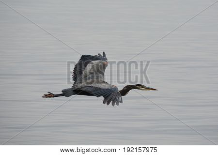 A great blue heron flies over the water looking for lunch.