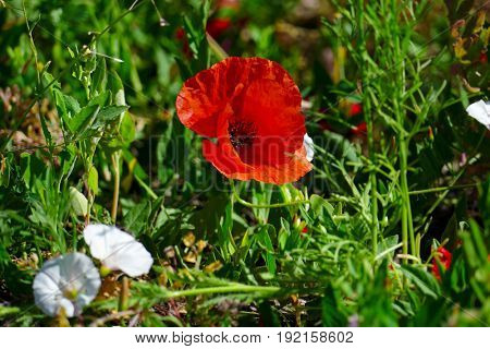 Bright red poppies on a background of green grass.