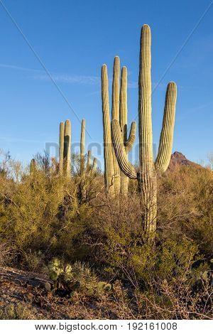 Saguaro Cactus Palo Verde Trees Blue Sky
