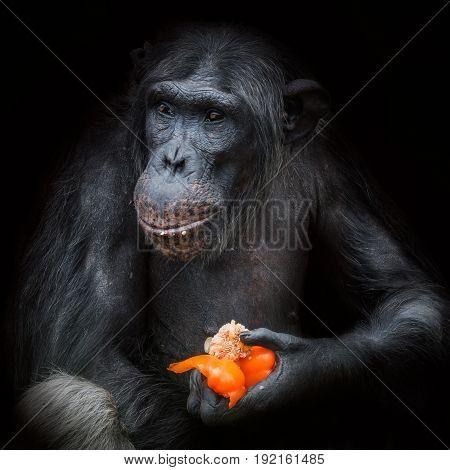 Chimpanzee Portrait Close Up At Black Background Eating Paprika