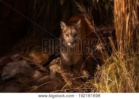 Mountain Lion blurred behind Behind dry Grasses