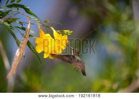 Hummingbird feeding on nectar from a yellow flower