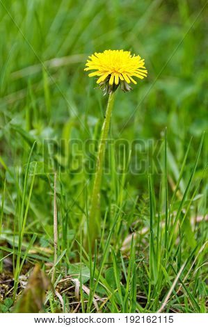 The Lone dandelion growing on the lawn