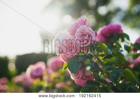 Brightly pink roses across from sunlight in the garden