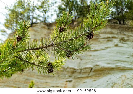 Pine Cone on a branch in the sandstone pit