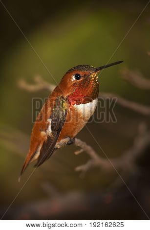 Rufous Male Hummingbird on Branch with Green Background