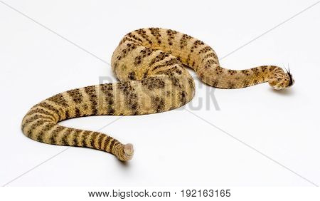 Tiger Rattlesnake on White Background isolated showing rattle