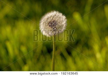 fluffy white dandelion in a field close