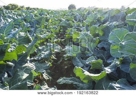 Cultivation of broccoli on summer. Inside furrow view