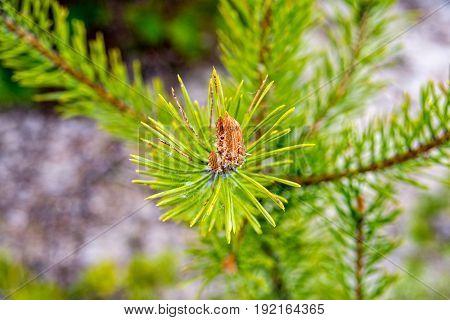 Small Pine Cone in thuringia near saalfeld