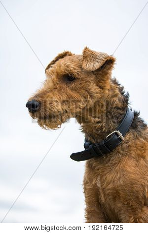 Welsh terrier dog thought with a collar