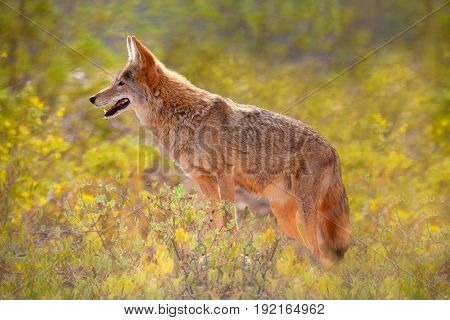 Coyote agains Yellow Flowers in the Sonoran Desert