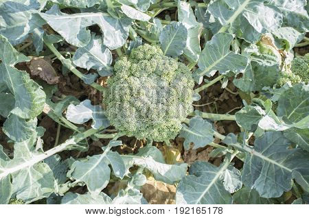 Mature broccoli plant. Guadiana River Meadow Extremadura Spain