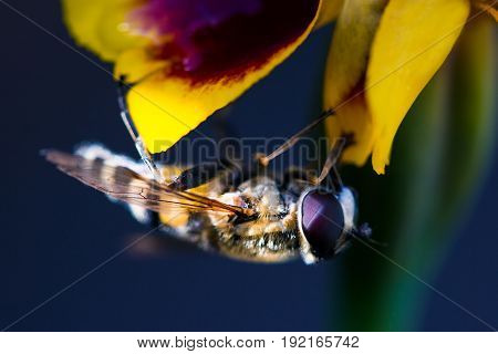 A fluffy hornet flew onto yellow flower to drink nectar