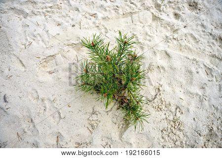 Pine grows in the sand in thuringia saalfeld