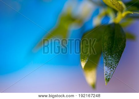 Blue background of leaves and drops of dew