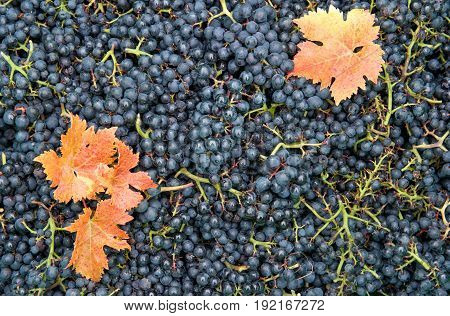 Grapes with red yellow autumn leaves. Vine grape harvest