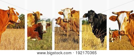 Set of beef cattle images in panoramic banner form for cows background