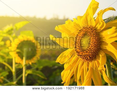 The morning sun shines on the blossoming sunflowers. Feel the power sent.