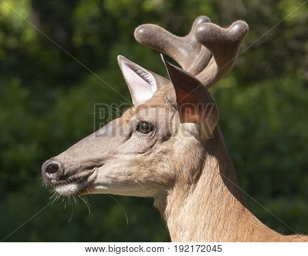 Deer White Tail Buck Close Up Portrait Side View