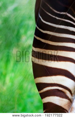 Back view of one half of an Okapi bottom showing the beautiful stripes with blurred abstract green grass and shrubs in the background and space for text.