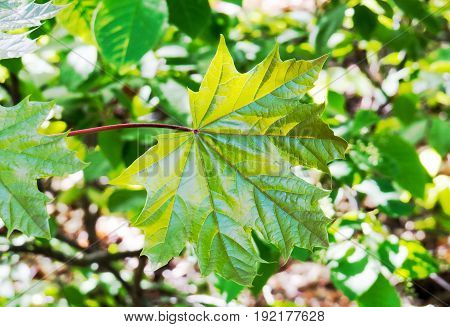 Very detailed maple leaf with a simple blurry background. Quebec, Canada.