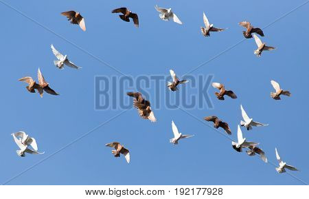 flock of pigeons on blue sky . A photo