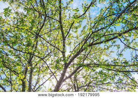 Vibrant spring trees with a nice blue sky. Quebec, Canada.