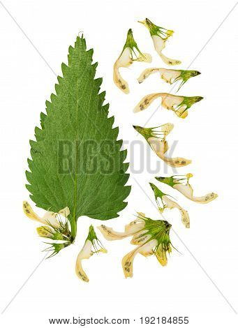 Pressed and dried stem nettle with flowers. Isolated on white background. For use in scrapbooking floristry (oshibana) or herbarium.