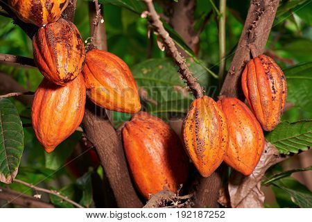 Big group cacao pods hanf on tree. Orange color cocoa fruit pods close-up