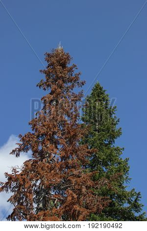 Green big spruce against a blue spring sky and beside her dead dry fir